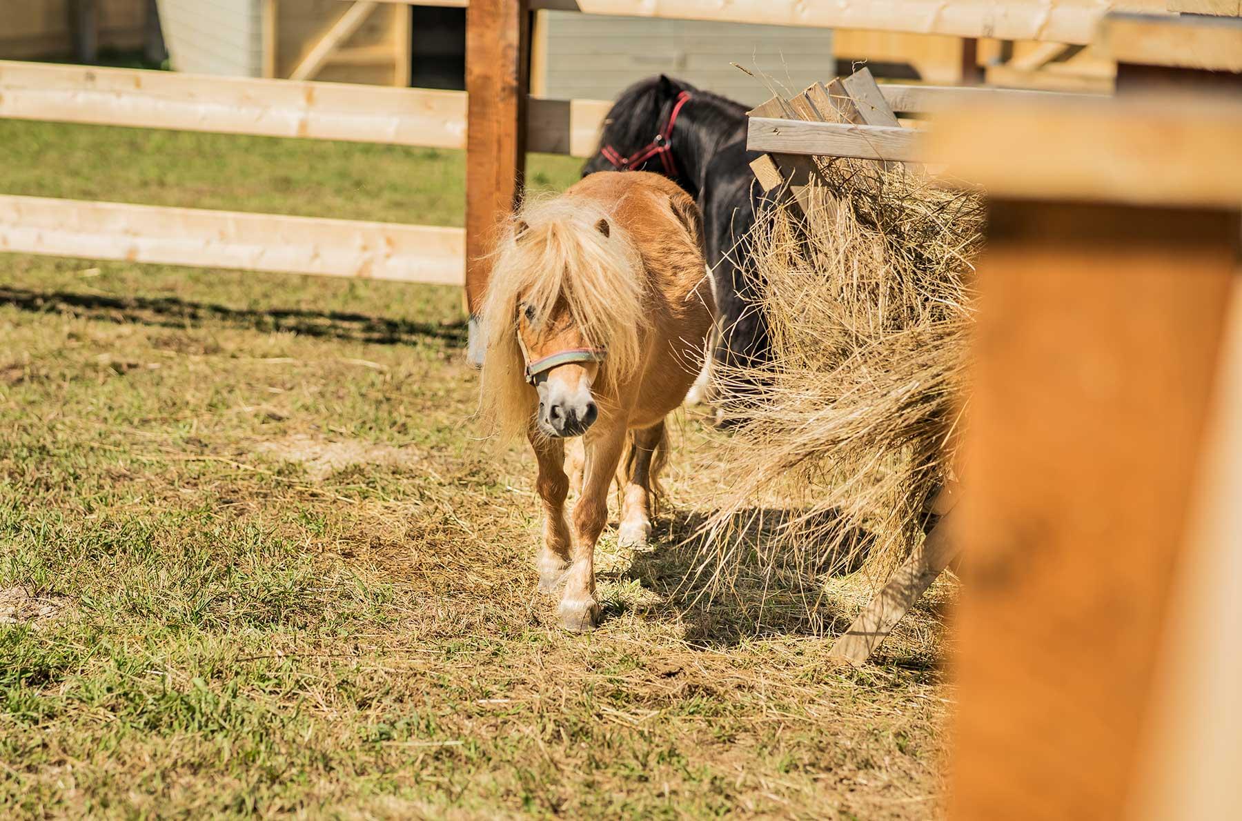 Kuc szetlandzki – rasa koni zaliczanych do kuców, pochodząca z Wysp Szetlandzkich. Jest to jedna z najmniejszych ras występujących obecnie kuców – ich niski wzrost jest wynikiem naturalnego procesu skarłowacenia.