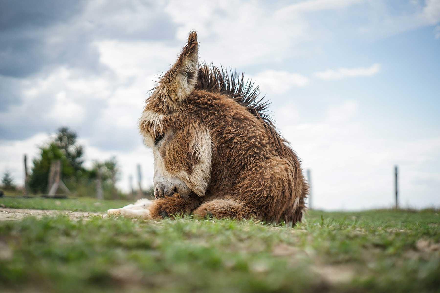 Osiołki Donkeyszot mini zoo Rogozina