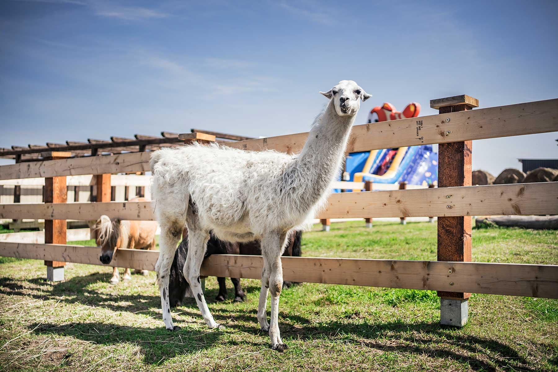 Lama Donkeyszot Mini ZOO Rogozina