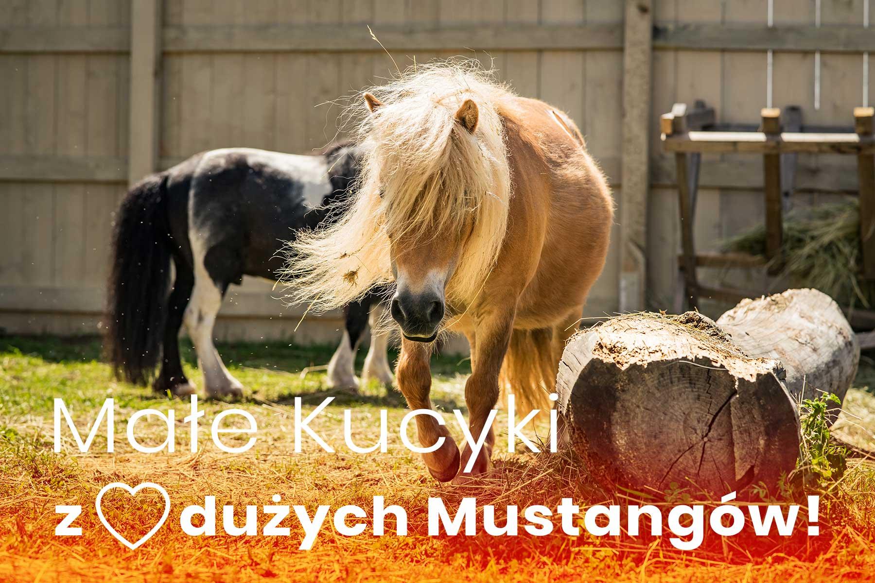 Kucyki szetlandzkie DonkeySzot Rogozina Mini ZOO