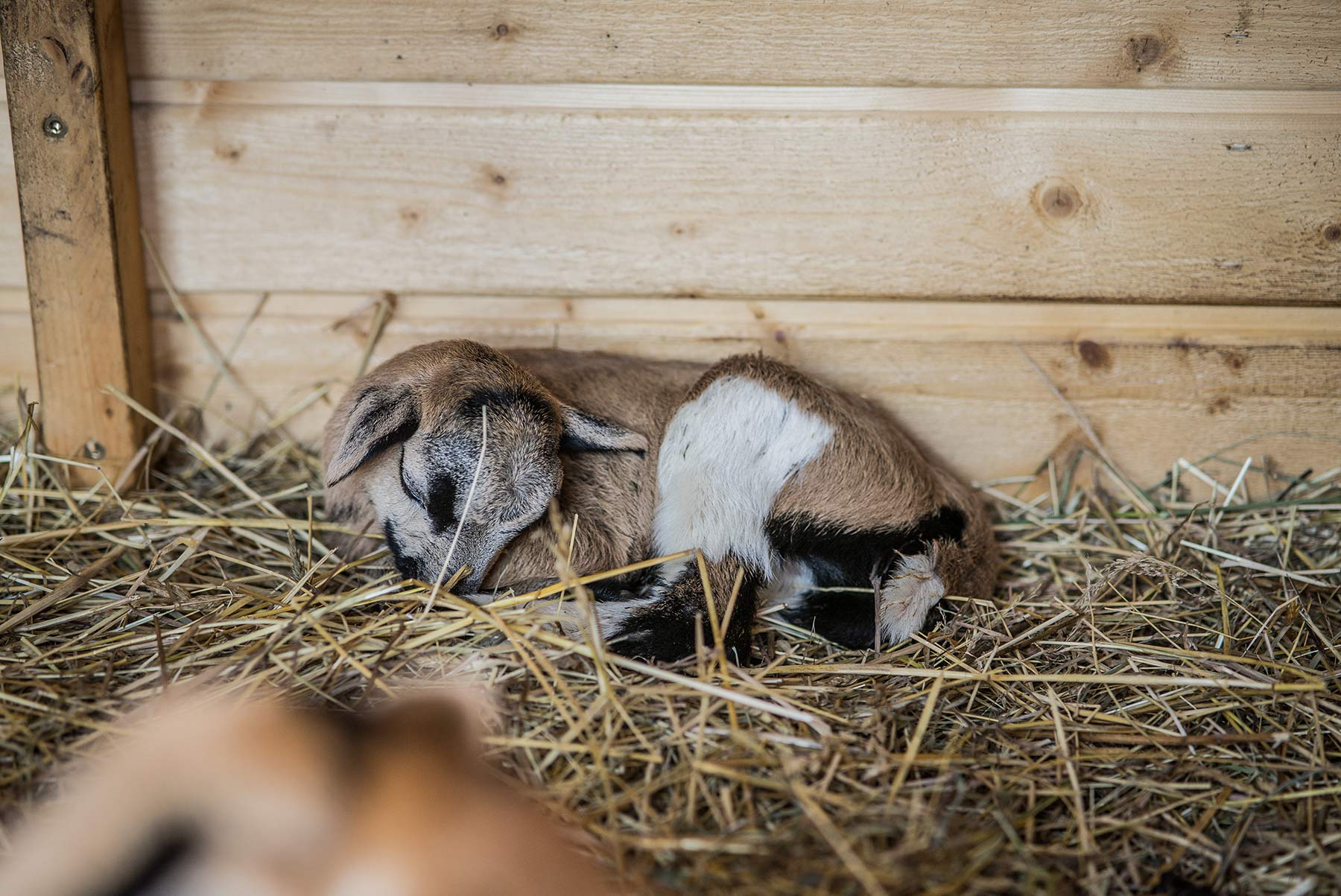 DonkeySzot Rogozina Owca Kameruńska